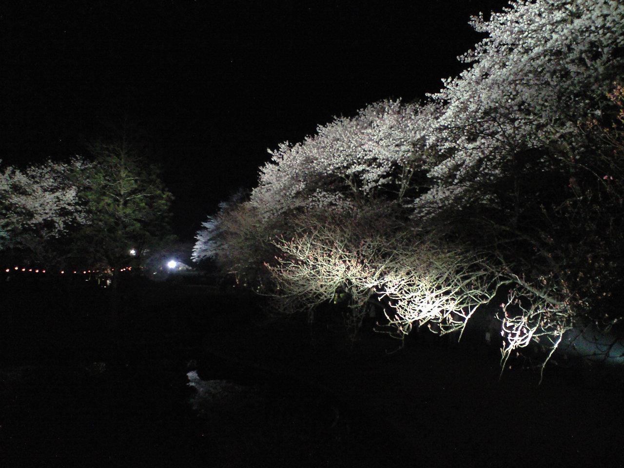 夜桜と、観覧車。
