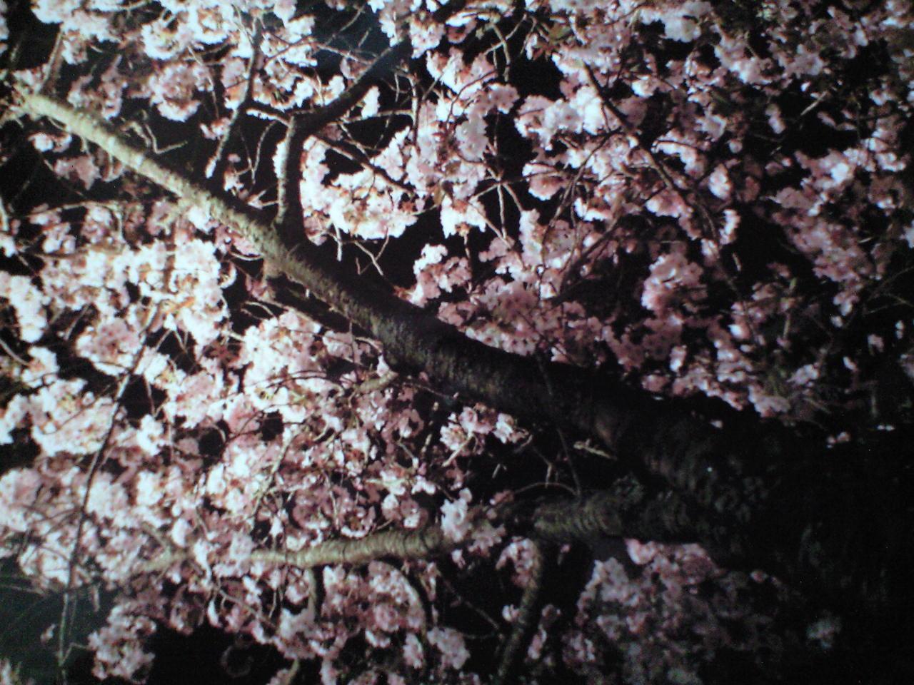 今年最後の、夜桜。