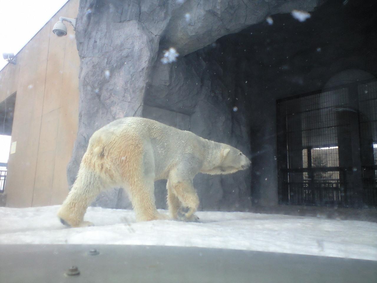 来た!旭山動物園。